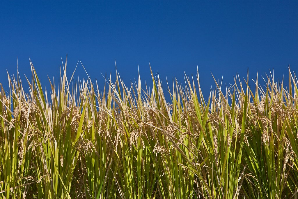 Close up of rice stalks in field in rural Kumamoto, Japan