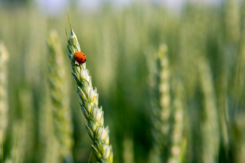 A lady beetle climbs on the stalk of a wheat field in Indiana