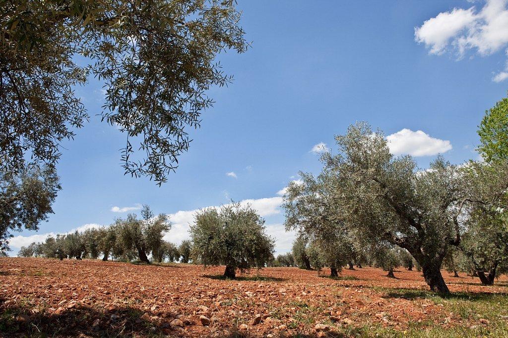 Olive grove near Granada, Spain