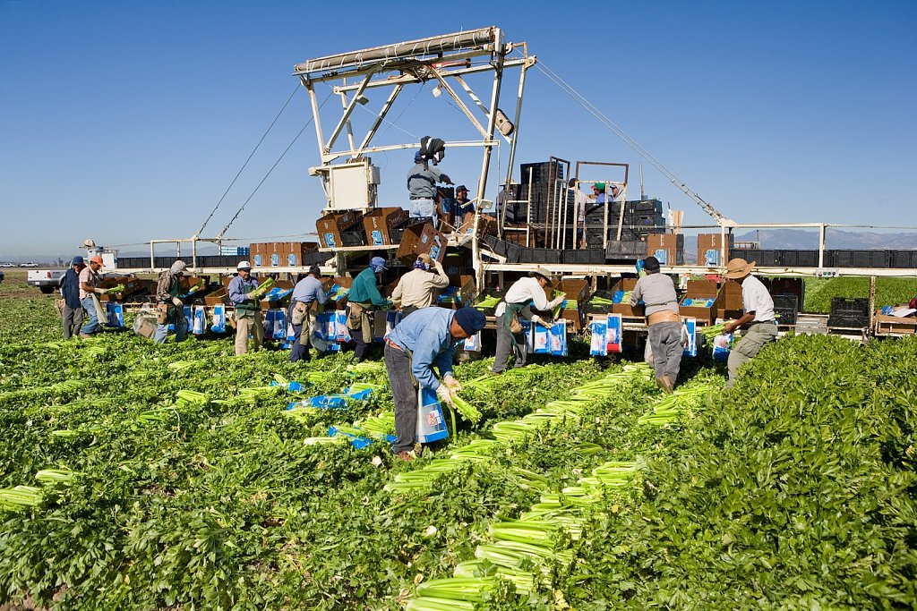 picking and packing celery in field Camarillo, California