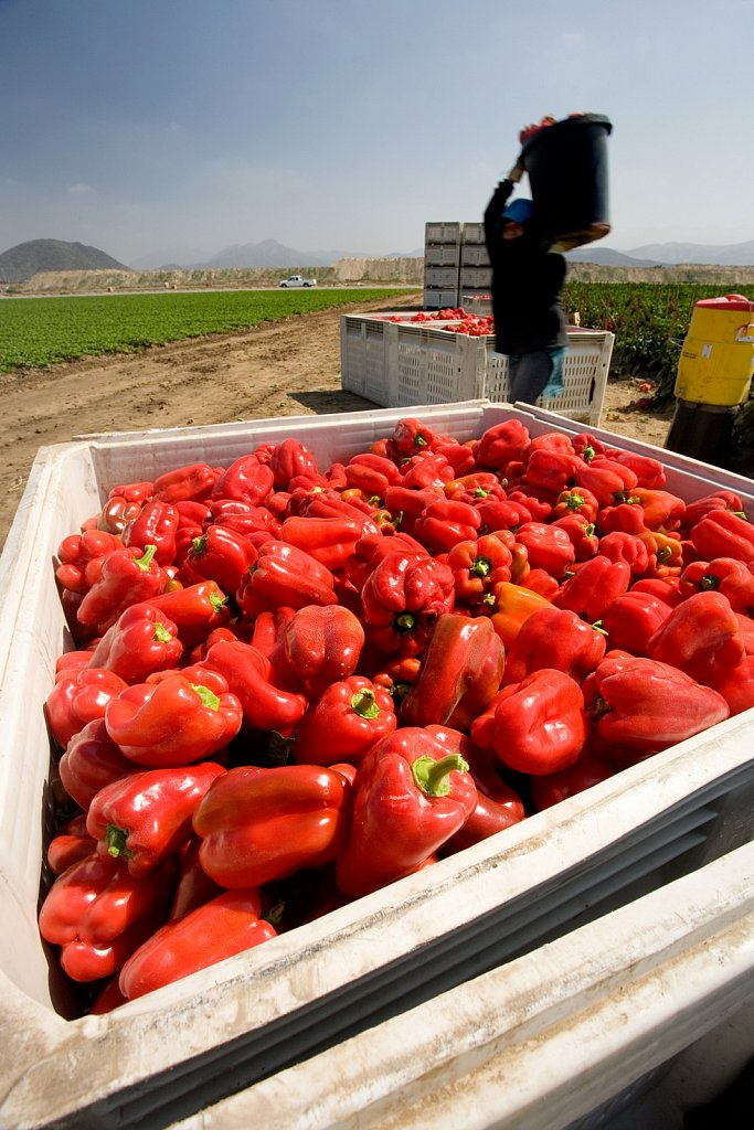 Picking red bell peppers